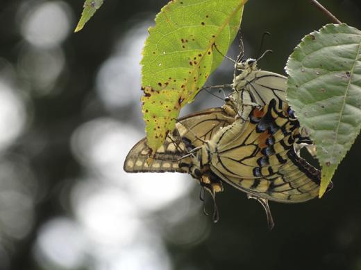 アゲハチョウの三角関係