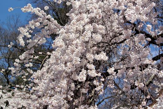 桜が見事に