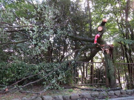 老木倒れる