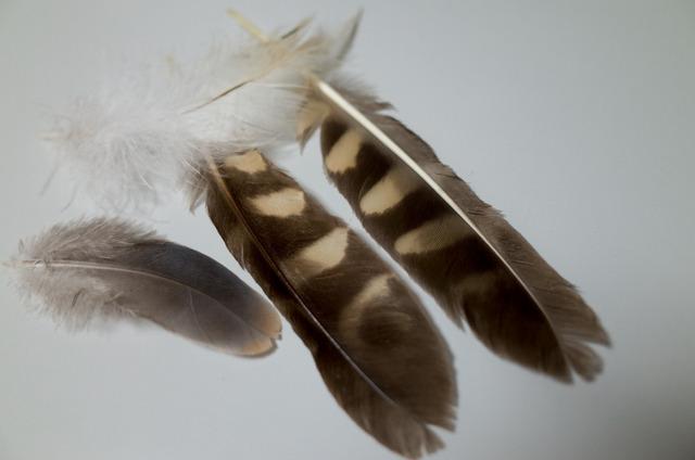 アオバズク羽根